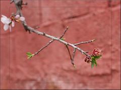 moroccan red (mhobl) Tags: red green branch blossom bokeh almond morocco maroc marokko tafraoute mandelblüte zweig bäumebüsche meinbröselblog