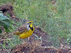 Yellow-Throated Longclaw (TonyKRO) Tags: bird kenya safari avian masaimara yellowbird yellowthroatedlongclaw longclaw