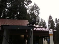 Yosemite Park - increíble!!! - se nos pararon unos cuervos arriba del auto, estaban grandes. Je!