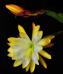 Yellow Epi With Bud (Bill Gracey) Tags: red flower green nature fleur yellow blackbackground flor highcontrast backlit softbox epi backlighting epiphyllum homestudio offcameraflash strobist radiotrigger orchidcacti honlsnoot leafcacti yn560 yn560ii yongnuorf603n flowerthequietbeauty