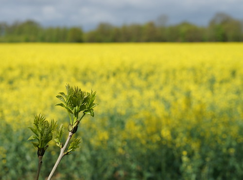 New leaves in front of yellow Rape