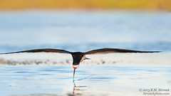 Black Skimmer (Bob Stronck) Tags: avian redwoodcity blackskimmer sanmateocounty rynchopsniger radioroad redwoodshoresca stronckphotocom birdsofsanfranciscobay ©2013rmstronck