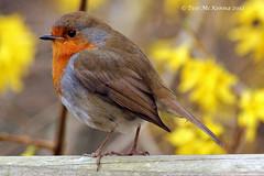 Robin Dublin Zoo 046 copy (Teresa Mc Kenna) Tags: red bird nature robin birds closeup awesome cannon dublinzoo