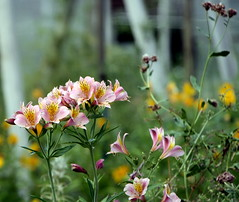 How wonderful.. (faster2007) Tags: alstromeria greenhouseleftover