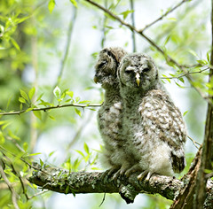 orphaned barred owls (bob schlake) Tags: raptor inc owls barred okeana