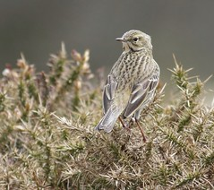 Meadow pipit (Paul Green Photography) Tags: nature wildlife meadowpipit nbw canonef400mmf56lusm canon7d paulgreenbirdphotography