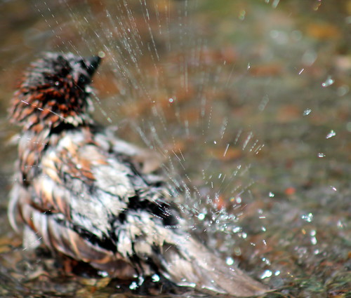 sparrow splashing in a puddle in Sir Winston Churchill Square