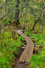 Boardwalk along the Applichian Trail in VT (skidargo) Tags: flowers green forest spring vermont hiking trail swamp boardwalk appalachian magnolias appalachiantrail