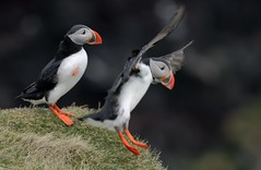 J77A1408 -- Two Puffins, one of them in landing (Nils Axel Braathen) Tags: nature birds canon iceland wildlife ngc npc puffin fugler oiseaux atlanticpuffin fraterculaarctica pulcinelladimare papageitaucher lundefugl greatphotographers macareuxmoine vogeln simplysuperb thebestofmimamorsgroups canon5dmarkiii mygearandme may2013 mygearandmepremium mygearandmebronze mygearandmesilver mygearandmegold mygearandmeplatinum mygearandmediamond blinkagain greatestphotographers photographyforrecreationeliteclub rememberthatmomentlevel4 rememberthatmomentlevel1 magicmomentsinyourlifelevel2 rememberthatmomentlevel2 rememberthatmomentlevel3 celebritiesofphotographyforrecreation vigilantphotographersunite vpu2 vpu3 vpu4 vpu5 vpu6 vpu7 vpu9 vpu10 photographyforrecreationclassic