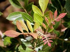 Schinus terebinthifolius (Mauricio Mercadante) Tags: schinus anacardiaceae christmasberry rosepepper brazilianpepper aroeiravermelha schinusterebinthifolius aroeirapimenteira taxonomy:binomial=schinusterebinthifolius