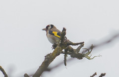 European Goldfinch - Carduelis Carduelis (Hugo_74) Tags: goldfinch carduelis jilguero