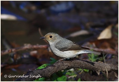 Ultramarine Flycatcher (g_singh1) Tags: india bird nature birds canon asian photography eos photographer wildlife photograph avifauna flycatcher kumaon 50d wildlifephotography indianwildlife indianbirds sattal