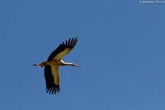 IMG_0775 (Giovanbattista Brancato) Tags: birds animals wildlife natura uccelli animali rapaci cicogna