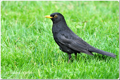Male Common Blackbird  Amsel  (M.A.K.photo) Tags: nature birds animals germany deutschland wings nikon europa europe hessen outdoor wildlife turdusmerula vgel birdwatching birdwatcher amsel naturesfinest commonblackbird supershot nbw bwg naturefinest naturewatcher natureselegantshots nikonflickraward fantasticwildlife distinguishedbirds birdperfect mybestwildlife photospourtousphotosforall
