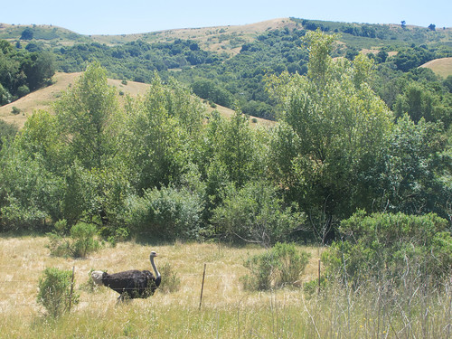 Ostrich farm on Bollinger Canyon Road