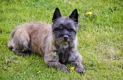 Otto...newly stripped (osto) Tags: dog chien pet animal cane denmark europa europe sony hond perro terrier zealand otto pies dslr scandinavia danmark cairnterrier a300 kpek sjlland  osto alpha300 osto may2013