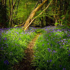 Bluebell path (Scott Baldock) Tags: wood uk flowers trees england colour tree green floral grass bluebells forest square vanishingpoint woods nikon path wildlife trail crop bluebell essex billericay norsley scottbaldockphotography