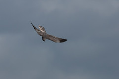 Montagu's Harrier Circus pygargus (Peregrine's Bird Photography) Tags: bird birds aves raptor nash birdofprey avifauna rarity codown montagusharrier circuspygargus bird photography images birds ireland photographer craig blog loughcowey wwwperegrinesbirdblogblogspotcom photographybird nashcraig peregrines