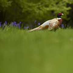 Pheasant (Michael Andrew Reynolds) Tags: wild colour green bird nature field grass bluebells canon pheasant wildlife feathers meadow palace blenheim 2013 550d rebelt2i
