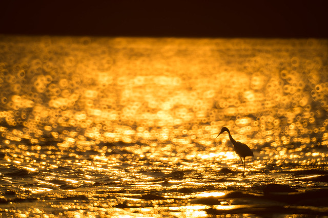 Sunset behind a little egret