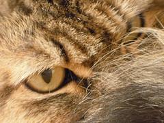 Kaya........ (susyyyy) Tags: pet canarias occhi ojos gato tenerife gatto canaryislands mascota canarie