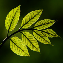 Ash (arbyreed) Tags: leaves closeup close bokeh ashtree ash backlit greenplant arbyreed immatureashleaves