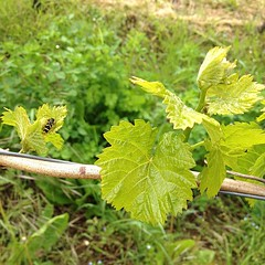 Reben ausbrechen. Wid hchste Zeit! (barockschloss) Tags: square vineyard squareformat weinberg iphoneography instagramapp uploaded:by=instagram foursquare:venue=4f48d857e4b06a7742675316