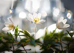 Spring bath (Explored) (Tore Thiis Fjeld) Tags: norway nature flower anemonenemorosawoodanemonewindflowertimbleweedsmellfox hvitveis sun reflection color bokeh macro natural spring pov dof focus spectrum nikon d800 bath