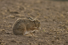 Brown Hare (Lepus europaeus) 5086 (Highland Andy (Andy Howard)) Tags: animal scotland highlands scottish highland inverness invernessshire brownhare lepuseuropaeus lepus