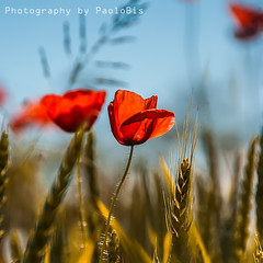 Papaveri Poppies Amapolas Coquelicots ... (PaoloBis) Tags: red summer primavera field yellow jaune square de rouge outdoors spring nikon estate wheat ears des amarillo giallo squareformat poppy poppies ear verano campo getty format t rosso extrieur printemps gettyimages coquelicot quadrato trigo frhling domaine carr papaveri grano rojas  formato bl amapolas oreilles amapola papavero spiga   spighe odo  d90   loreille odos cuadrato formatcarr alairelibre   formatocuadrado ariaaperta  formatoquadrato paolobis     mohnmohnblumenrotgelbohrohrenfeldsommer imfreienweizenplatzquadratformatformatieren