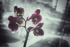 The Dark Orchids (lemmingby) Tags: flowers orchids dark purple gray bw postprocessed snapseed colorsplash
