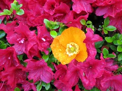 Orange, pink and green (Ruth and Dave) Tags: pink flowers orange green closeup bright poppy azalea californiapoppy