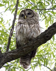 Barred Owl (zenjazzygeek) Tags: olympus panasonic owl omd barred 100300mm
