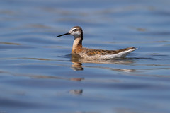 Wilson's Phalarope (Phalaropus tricolor): First Arrival (Johnrw21) Tags: wild nature birds photography wildlife waterfowl waders wilsons avian phalaropes