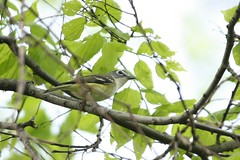 Blue-headed Vireo - Vireo solitarius - Hamilton County, Ohio, USA - May 9, 2013 (mango verde) Tags: ohio usa bird yard migration migrant hamiltoncounty vireo solitarius vireonidae vireosandallies blueheadedvireovireosolitarius
