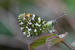 Orange Tip Butterfly (Male) (Chris*Bolton) Tags: mywinners citrit artofimages