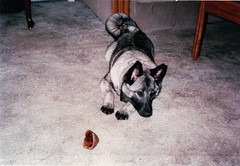 Ilsa as a puppy (Plaid Ninja) Tags: dog ilsa