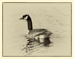 Vintage Goose series (leehobbi) Tags: bw nature canon vintage geese wildlife monochromatic goose waterfowl patuxent