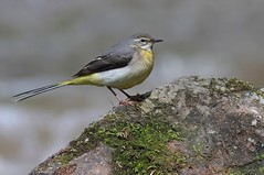 Grey wagtail set (Paul Green Photography) Tags: nature wildlife aves avian greywagtail nbw canonef400mmf56lusm canon7d paulgreenbirdphotography