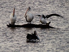 Pelicans In The Stream (florahaggis) Tags: pelicans birds australia victoria horsham pc3400 waterriver wimmerariver