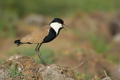 Spur Wing Plover (Dave Montreuil) Tags: africa bird birds dave spur crying wing westafrica lapwing gambia senegal screaming calling plover montreuil