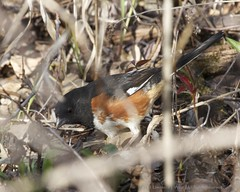Eastern Towhee (Pipilo erythrophthalmus) (Viggen61) Tags: birds newjersey flickr sparrows photostream locations greatswampnwr canonef100400mmf4556lis exportshare easterntowheepipiloerythrophthalmuseato