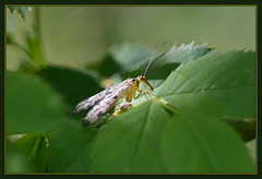 Scorpionfly (Full Moon Images) Tags: wood macro nature insect wildlife reserve national monks cambridgeshire scorpionfly nnr