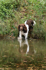 Gundogs at Pond Meadow (jane currie) Tags: dog wet water pond gun working spaniel alert retrieve gundogs