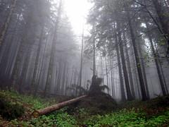 spruce palm tree (fagion) Tags: wood forest europe poland polska palmtree spruce canonpowershot beskidzywiecki