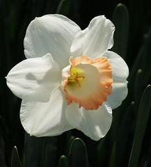 Daffodil (EJMphoto) Tags: flower spring pennsylvania daffodil longwoodgardens
