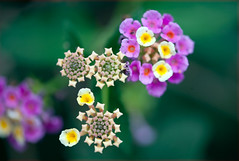 Flowers from the very outer space (Pensive glance) Tags: plant flower nature fleur plante lantana mimamorflowers