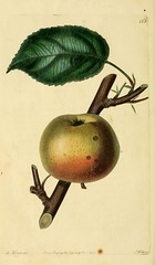 n239_w1150 (BioDivLibrary) Tags: fruitculture greatbritain periodicals umassamherstlibrariesarchiveorg bhl:page=21999691 dc:identifier=httpbiodiversitylibraryorgpage21999691 artist:name=augustainneswithers artist:viaf=95819243 padleyspippin taxonomy:binomial=malusdomestica womeninscience augustainneswithers q2870951 illustrator:wikidata=q2870951 hernaturalhistory