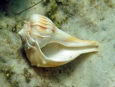 Lightning whelk, Destin, Florida (Hawkfish) Tags: gulfofmexico underwater florida shell snorkeling destin marinelife floridapanhandle canonpowershots100 lighteningwhelk