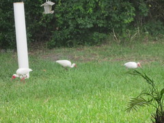 White Ibis (stealth33770) Tags: nature birds florida whiteibis tropicalbirds